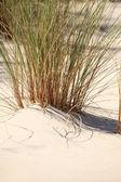 Reeds on a beach — Stock Photo