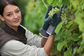 Woman picking grapes in a vineyard — Stock Photo