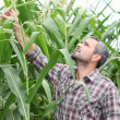 Landwirt Überprüfung seiner Maisfeld — Stockfoto