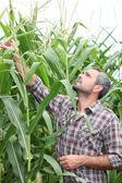 çiftçi onun mısır tarlası kontrol — Stok fotoğraf