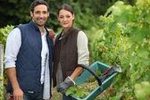 Couple picking grape vines — Stock Photo