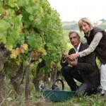 Couple picking and examining grapes — Stock Photo