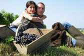 Couple hand picking grapes — Stock Photo