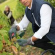 50 years old man and woman doing grape harvest - Stock Photo