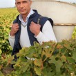 Stock Photo: Mpicking grapes