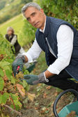 50 years old man and woman doing grape harvest — Stok fotoğraf