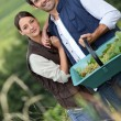 Farmer couple in field with basket of grapes — Stock Photo