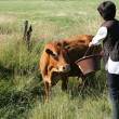 Stock Photo: Farmer giving cow some water to drink