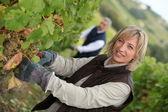 Vine harvest — Stock Photo