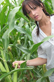 Agriculturist stood in corn field — Stock Photo