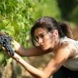 Woman picking grapes — Stock Photo