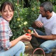 Couple picking tomatoes in garden — ストック写真