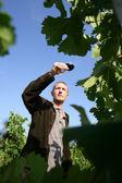 Man walking in a vineyard and testing wine — Stock Photo