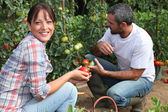 Couple picking tomatoes in garden — Stock Photo