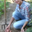 Woman digging potatoes in the garden - Foto Stock