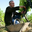 Stock Photo: Grape harvest