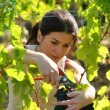 Woman picking grapes - Foto de Stock
