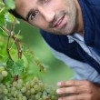 Stock Photo: A man harvesting grapes.