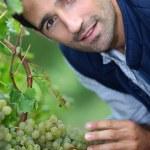 A man harvesting grapes. — Stock Photo #8962560