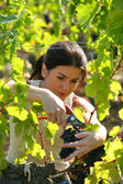 Woman picking grapes — Photo
