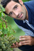A man harvesting grapes. — Stock Photo