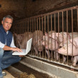 Man with pigs and a laptop - Stock Photo
