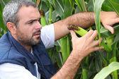 Farmer inspecting crop — Stock Photo