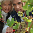 A producer and his wife cropping grapes - Stockfoto