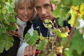 Un productor y su esposa cultivo de uvas — Foto de Stock
