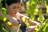 Woman picking grapes — Stock Photo