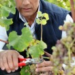 Stock Photo: Mature wine-grower harvesting