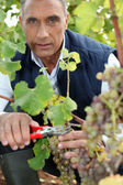 Mature wine-grower harvesting — Stock Photo