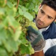 Man working in a vineyard — Stock Photo #9166099