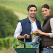 Attractive couple picking grapes — Stock Photo