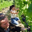 Man and woman working in a vineyard - Stock Photo