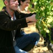 Stock Photo: Couple pruning vines