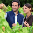 Stock Photo: Grape growers picking grapes in their vineyard