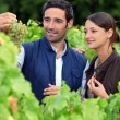 Grape growers picking grapes in their vineyard - Stock Photo