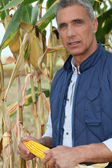Farmer holding a maize ear — Stock Photo
