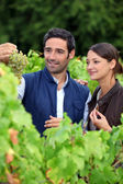 Grape growers picking grapes in their vineyard — Stock Photo