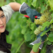 Woman pruning vine — Stock Photo