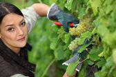 Woman pruning vine — Stock Photo