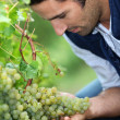Vintner looking bunch of grapes — Stock Photo