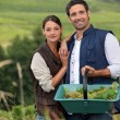 Attractive couple grapepicking — Stock Photo #9322664