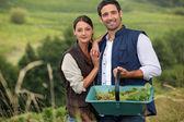 Attractive couple grapepicking — Stock Photo