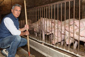 Man feeding pigs — Stock Photo