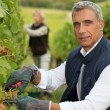 Stock Photo: Winegrower