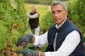 Winegrower — Stock Photo