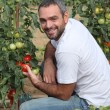 Stock Photo: Mpicking tomatoes in garden