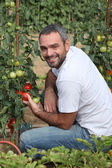 Man picking tomatoes in garden — Stock Photo